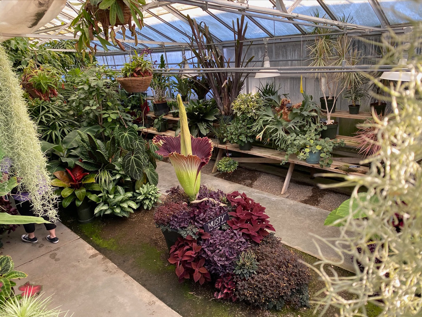 Rare Corpse Flower Bloomed At Cal Poly Plant Shop Mustang News